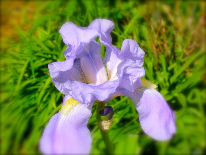 Iris picture_1
